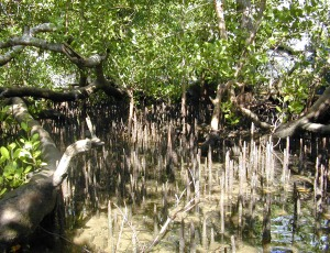 Indonesian Mangrove forest/photo:Eric Guinther